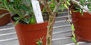 Alluaudiopsis marneriana