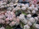 Euphorbia pseudoglobosaXobesa