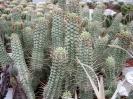 Euphorbia mammilaris