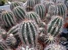 Echinopsis haku-jo
