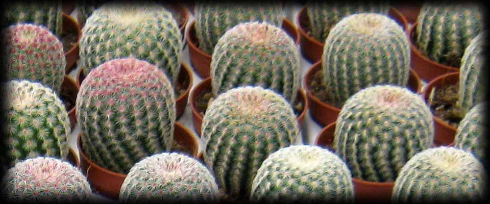Piante grasse cactus e succulente for Cactus piante grasse