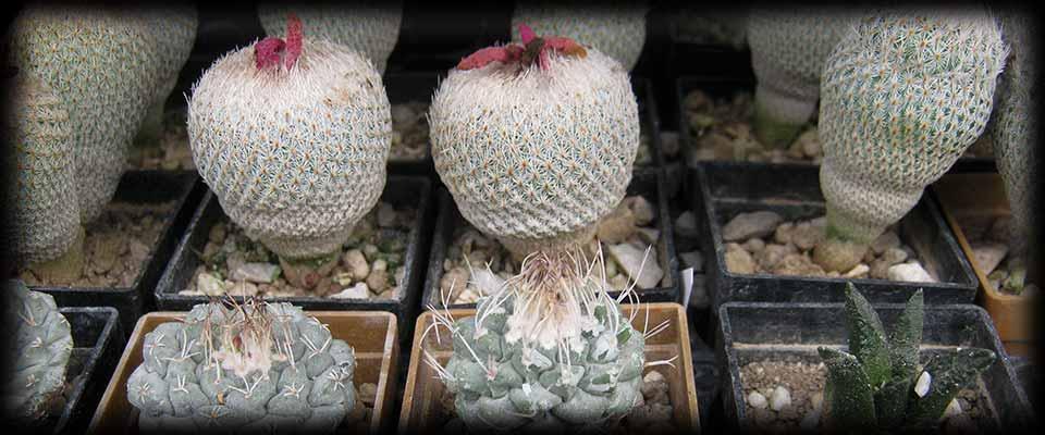 Piante grasse cactus e succulente for Piante rare