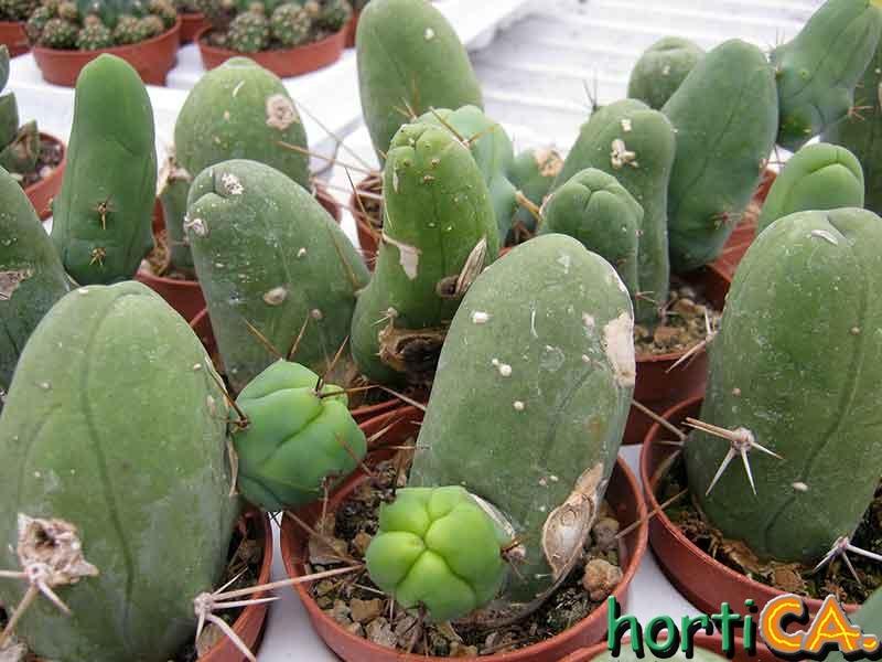 Horticactus il giardino delle piante grasse cactus e for Piante grasse succulente