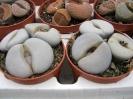 Lithops groendrayensis