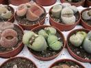 Lithops cultivar