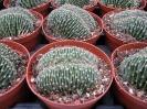 Echinopsis forma crestata