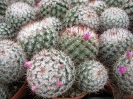 Mammilaria bombycina