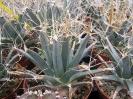 Leuchtembergia principis